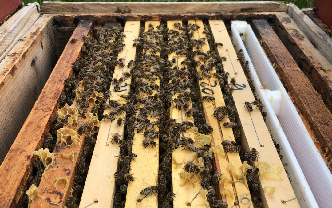Perchè adottare un alveare non salverà le api